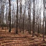 Bukový les na Kamenárce - Jiří Koleček