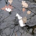 Tři labutí pírka na hladině rybníku - Jiří Koleček