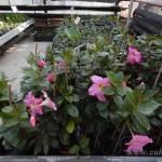 Oseva zahradkářství ve  skleníku  2014  0001