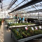 Oseva zahradkářství ve  skleníku  2014  0002