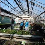 Oseva zahradkářství ve  skleníku  2014  0003