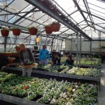 Oseva zahradkářství ve  skleníku  2014  0005