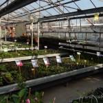 Oseva zahradkářství ve  skleníku  2014  0013