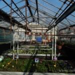Oseva zahradkářství ve  skleníku  2014  0014
