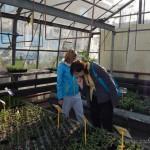 Oseva zahradkářství ve  skleníku  2014  0018