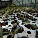 Oseva zahradkářství ve  skleníku  2014  0019