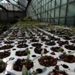 Oseva zahradkářství ve  skleníku  2014  0020