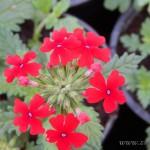 Oseva zahradkářství ve  skleníku  2014  0021
