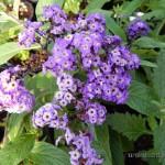 Oseva zahradkářství ve  skleníku  2014  0022