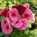 Oseva zahradkářství ve  skleníku  2014  0023