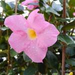 Oseva zahradkářství ve  skleníku  2014  0028