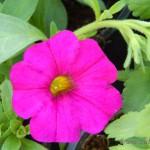 Oseva zahradkářství ve  skleníku  2014  0029