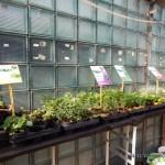 Oseva zahradkářství ve  skleníku  2014  0034