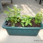 Oseva zahradkářství ve  skleníku  2014  0035