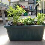 Oseva zahradkářství ve  skleníku  2014  0036