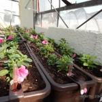 Oseva zahradkářství ve  skleníku  2014  0038