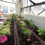 Oseva zahradkářství ve  skleníku  2014  0039