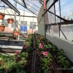 Oseva zahradkářství ve  skleníku  2014  0040
