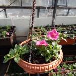Oseva zahradkářství ve  skleníku  2014  0041