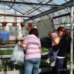 Oseva zahradkářství ve  skleníku  2014  0043