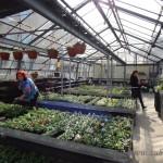 Oseva zahradkářství ve  skleníku  2014  0044