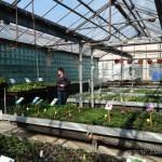 Oseva zahradkářství ve  skleníku  2014  0046