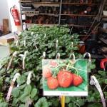 Oseva zahradkářství ve  skleníku  2014  0055
