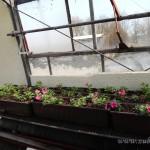 Oseva zahradkářství ve  skleníku  2014  0057