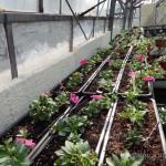 Oseva zahradkářství ve  skleníku  2014  0058