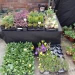 Oseva zahradkářství ve  skleníku  2014  0068