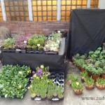 Oseva zahradkářství ve  skleníku  2014  0070