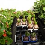 Oseva zahradkářství ve  skleníku  2014  0073