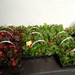 Oseva zahradkářství ve  skleníku  2014  0074