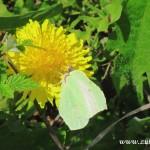 Motýl na pampelišce