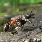 Mravenec s kořistí