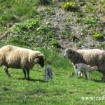 Ovce na Machulkách