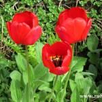 Tři tulipány na Nádražní ulici