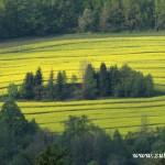 Zelený ostrov v řepkovém poli