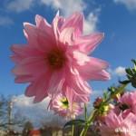 Podzimní květy v  Zubří 2014 0003