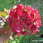 Podzimní květy v  Zubří 2014 0010