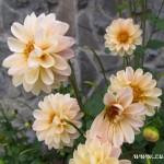 Podzimní květy v  Zubří 2014 0015