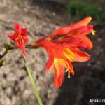 Podzimní květy v  Zubří 2014 0016