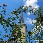 Růže šípková pod zuberskou věží