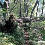 Vyvrácený strom u Hamerských rybníků