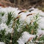 Krystalky sněhu v mechu