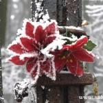 Námraza na červených květech