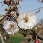 Dubnové bílé květy