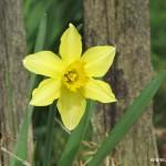 Narcis před dřevěným plotem