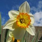 Narcisový květ na Hamerské ulici