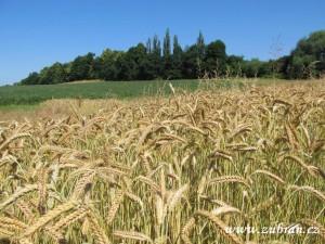 Obilné pole u sídliště